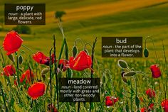 A lush meadow filled with the flowers and buds of poppies.