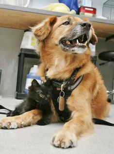 The Arizona Humane Society uses Boots a senior dog to acclimate kittens to dogs