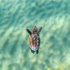 Best photos, images, and pictures gallery about baby sea turtle - sea turtle facts. Best photos, images, and pictures gallery about baby sea turtle - sea turtle facts. Cute Little Animals, Cute Funny Animals, Tiny Turtle, Turtle Baby, Happy Turtle, Baby Sea Turtles, Turtle Time, Cute Turtles, Sweet Turtles