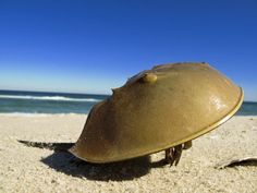 A Story of a Living Fossil; Horseshoe crabs are simple primitive creatures which haven't changed much in over 400 million years.  Science believes they have survived the eons for several reasons: i.e.the shape and size of their exoskeleton shield * * they can go a year without food * * they adapt to high salt environments and extreme temperatures * * their unique blood protects them from infection