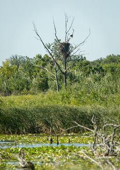 Sherburne's Bald Eagles - Bald Eagle (Haliaeetus leucocephalus) on the refuge   Show Me Nature Photography