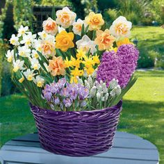 They'll continue to enjoy this garden week after week, as it unfolds its many colors! There's no better way to give someone the wonderful gift of spring than this bulb garden that includes 3 Tete-a-Tete Daffodils, 3 Mixed Double Daffodils, 3 Purple Hyacinths, 7 White Muscari, 3 Cheerfulness Daffodils, and 5 Purple Crocus.The easy-to-grow bulbs arrive pre-planted in a very attractive royal purple wicker basket that you'll want to use again and again!  Gift Plant Specifications:• Available t…