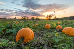 Ready for Halloween by Paul ( & Lisa ) schultz on Capture Wisconsin // I'm always on the look for new photo ops.  I've been trying to get a good spot to photograph a pumpkin patch.  I tried last night with no luck but had better luck tonight.  I got home just in time for the Packer Game.  Gotta love fall!