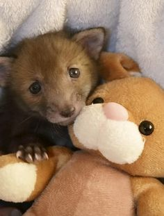 """But Hemmington's washing machine has been in """"overdrive"""" since he gave the baby fox his cuddly toy. """"Puggle loves his teddy more than usual,"""" he said. 