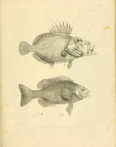 fishes illustration, one with extended mouth. n336_w1150