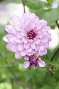 Claus Dalby´s have - dahlia, georginer Bulb Flowers, Garden Plants, Rose, Bulbs, Dreams, Inspiration, Backgrounds, Flowers, Chrysanthemums