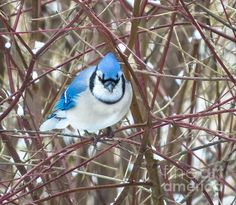 Mr. Blue Jay Print By Stephanie Forrer-Harbridge