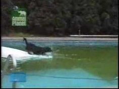 This Dog Has The Most Genius Way of Retrieving His Ball from The Pool