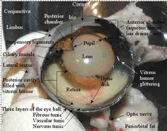 Cow Eye Dissection Diagram Labeled | Featuresofthe Cat Eye, internal and external