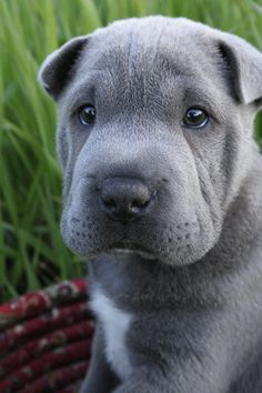 Shar Pei Pup by ~LauraWixson on deviantART