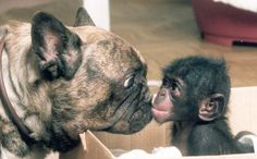 Kia, a Bonobo ape from Twycross Zoo, was rejected by her mother, but luckily found a mom in Bugsy the bulldog.