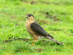 A Cooper's Hawk!