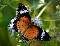 Leopard India | leopard lacewing the incredible beauty of the north east indian