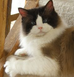 Doubloon, a Ragdoll Cat