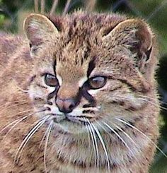 Pampas Cat lives in the grass lands of Argentina, Bolivia, Peru and Ecuador. Pampas cats have not been studied much in the wild and little is known about their hunting habits. Small Wild Cats, Big Cats, Cool Cats, Cats And Kittens, Beautiful Cats, Animals Beautiful, Cute Animals, Serval, Wild Animals Pictures