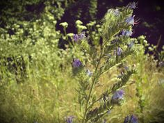 Purple in the nature