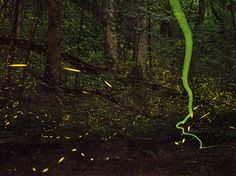 Fireflies flash and streak through a Tennessee summer night, putting on a spectacular light show to seduce prospective mates.