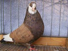 Birmingham Roller fancy show pigeon