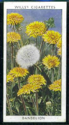 Dandelion 1937 Wills Cigarettes Wild Flowers Series [dandelion, Taraxacum officinale, Asteraceae] Awesome Art, Cool Art, Taraxacum Officinale, Vintage Cartoon, Dandelions, Love Symbols, Book Of Shadows, Deco, Dandy
