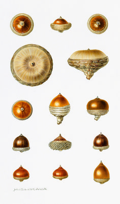 See Dazzling Botanical Imagery Through the Ages - Atlas Obscura Vintage Botanical Prints, Botanical Drawings, Botanical Art, Illustration Botanique, Plant Illustration, Acorn Crafts, No Bad Days, Nature Drawing, Seed Pods