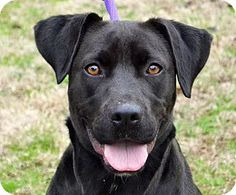 *** GREAT NEWS! *** I'VE BEEN ADOPTED!!!  Searcy, AR - Labrador Retriever/Pit Bull Terrier Mix. Meet Lois, a dog for adoption. http://www.adoptapet.com/pet/12168777-searcy-arkansas-labrador-retriever-mix