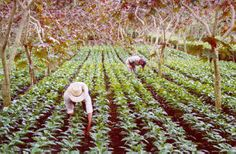 Coffee picking in Guatemala