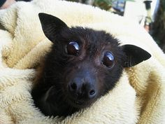 baby fruit bat   ...........click here to find out more     googydog.com