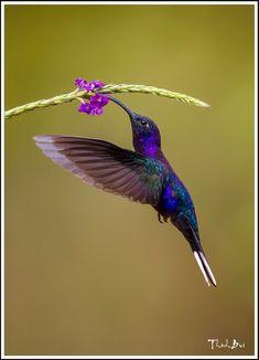 oViolet Sabrewing Hummingbird