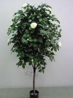 Camelia Vine Tree 170cm