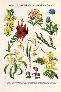 vintage Botanical flower print Australian by theStoryOfVintage Botanical Tattoo, Botanical Drawings, Botanical Flowers, Botanical Art, Flowers Garden, Tropical Flowers, Australian Wildflowers, Australian Native Flowers, Australian Plants