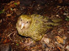 Kakapo (Strigops habroptila) -->   Los machos pueden llegar a medir hasta 60 cm y pesar entre 3 y 4 kg. El Kakapo (Strigops habroptila) es un ave robusta y fornida con alas cortas en relación al resto del cuerpo. Ilustración Kakapo Los adultos, en la parte superior, son de color verde musgo, tirando a amarillento. Todas sus partes superiores están manchadas de negro y gris parduzco, lo que les da un excelente camuflaje dentro de su entorno. El pecho y los flancos son de color verde…