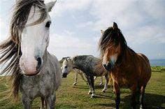 Wild horses on coastal headland