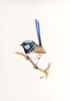 Superb Fairy-Wren Original Pencil Drawing by wildsunart on Etsy