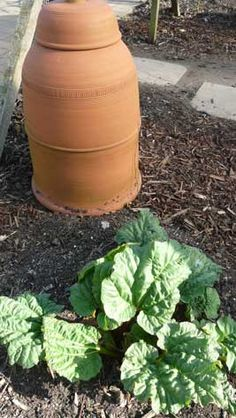 Forcing Rhubarb using a forcing pot