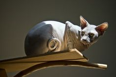 Kinsey the Blue Sphynx, hanging out on his cat tree.