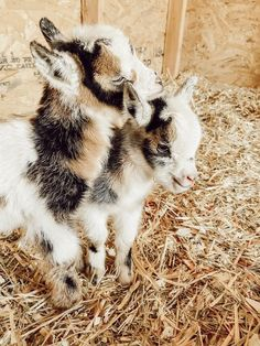 Our Nigerian Dwarf Baby Goats - A Glimmer of Hope on the Farm