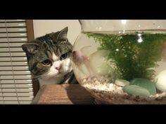 金魚とねこ。-Goldfishes and Maru&Hana.- - YouTube
