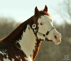 I'm obviously a brown horse with white spots