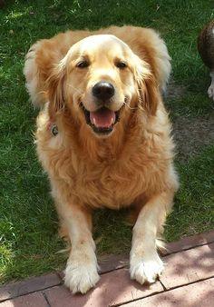 Golden retriever puppy So Happy