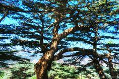***Cedar Tree (Lebanon) by Jad Makarem on 500px