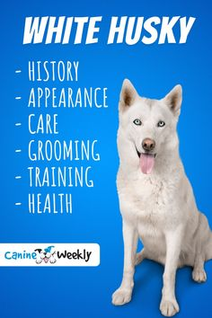 In this guide, we'll discuss exactly what it takes to look after a white husky, including their diet, their training, exercise needs and more.