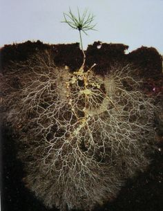 """A small pine tree grown in a glass box reveals the level of white, finely branched mycorrhizal threads or ""mycelium"" that attach to roots and feed the plant."" --David Read https://www.facebook.com/bojanavuksanovic"