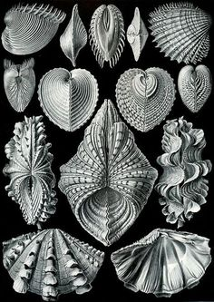 Ernst Haeckel Cytherea Clam Shell Art Print Vintage Lithograph Beach House Home Office Decor Sea Life Shells Molluscs Bivalves Ernst Haeckel Art, Art Et Nature, Nature Study, Natural Form Art, Shell Art, Patterns In Nature, Marine Life, Natural History, Sea Shells