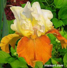 Fall Fiesta Tall Bearded Iris