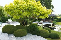 Another beautiful Japanese garden. The smoothness, placing and size of the Buxus are considered within a millimetre. Hard white landscaping allows the Catalpa to blast through. When this special tree is leafless in the winter, it will be sculptural. Water of course and a contemporary wooden harbour to sit.
