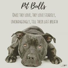 This is so true I love my pitbull he even tells me good morning in his own way Bull Terriers, Terrier Dogs, Pitbull Terrier, Pitbulls, American Pitbull, Pit Bull Love, Beautiful Dogs, I Love Dogs, Dogs And Puppies