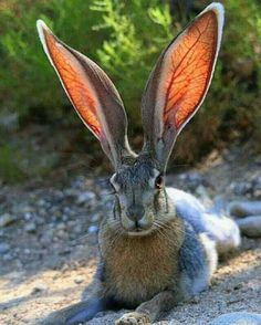 Amazing how the light shows the delicate veins in the ears! This is a Hare, sometimes called a Jack Rabbit Nature Animals, Animals And Pets, Baby Animals, Funny Animals, Cute Animals, Animals In The Wild, Funny Dogs, Colorful Animals, Beautiful Creatures