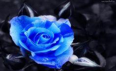 Niebieska, Róża, Czarne, Tło