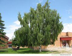 Cutleaf Weeping Birch Betula pendula 'Laciniata'