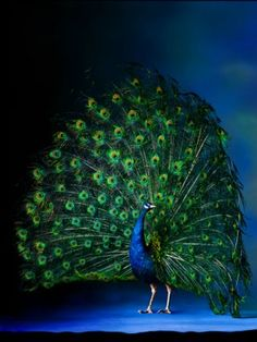 I've recently been very drawn to peacocks...love them, their colors, and the elegance and mystery about them!